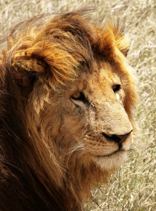 Male lion at the Serengeti savanna